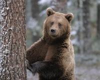 Ursii din Sinaia, adusi in Arges