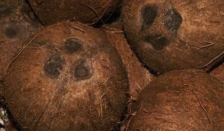 Nuca de cocos, aliatul ficatului in lupta cu alcoolul