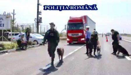 (VIDEO) CÂINI POLIȚIȘTI PE ȘOSELE. CONTROL DE AMPLOARE