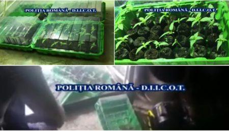 (VIDEO) CULTURĂ DE DROGURI ÎNTR-O COMUNĂ ARGEȘEANĂ