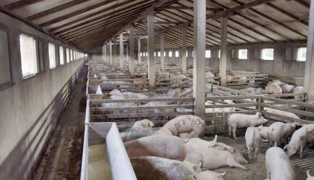 Pesta porcină africană scumpeşte carnea de porc cu 25%