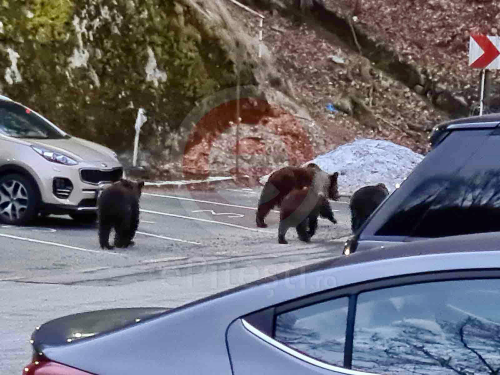 Argeş: S-a aprobat intervenţia imediată pentru specia urs brun