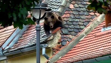 Prima sentință împotriva statului român în cazul unei persoane atacate de un urs