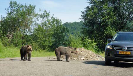 """Poliţia Argeş: """"Nu fugiţi de urs, ci încercaţi să păreţi mai mari în faţa acestuia"""""""