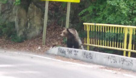 Bucureştenii nu mai pot de dragul urşilor din Argeş. Le dau hrană din belşug pe traseu