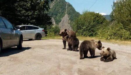 Bucureştean aflat la plimbare la Vidraru, amendat fiindcă hrănea urşii