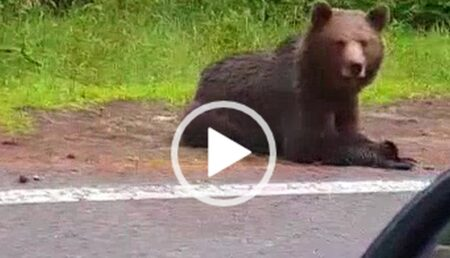 """Video: În ciuda telefoanelor care """"urlă"""" alerte, turiştii par bucuroşi de prezenţa urşilor"""