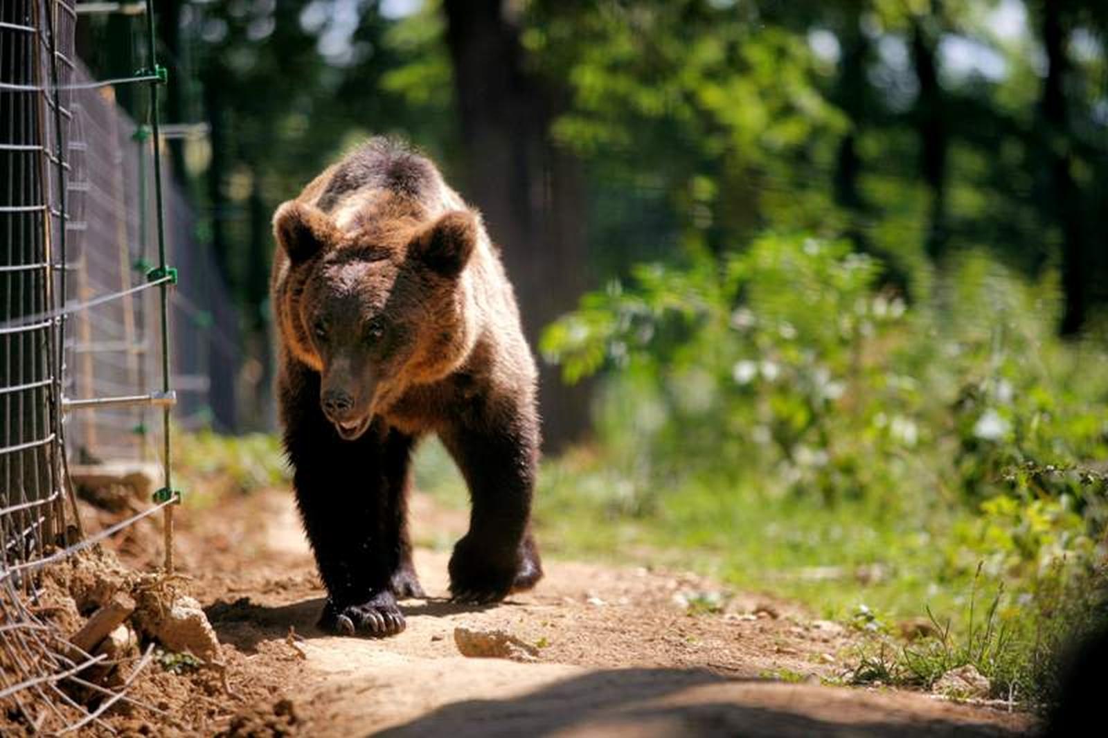 Argeş: A fost aprobat protestul privind problema urşilor